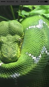 Looking for a tree boa or tree python Peterborough Peterborough Area image 1
