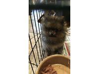 pomeranian pup last little girl
