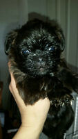 Brussell Griffon Puppies