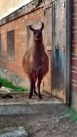 Fixed llama and 3 ewes for sale