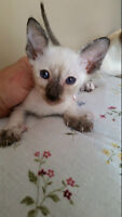 1 REGISTERED CLASSIC FEMALE SIAMESE KITTEN LEFT & SHOTS
