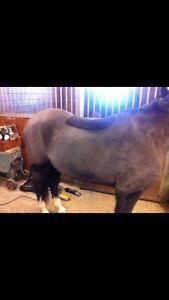 Horse clipping Kitchener / Waterloo Kitchener Area image 2