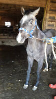 Quarter horse Mister Redford Cross Filly