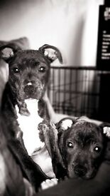 2 staffy puppys for sale £400 ono