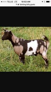 Wanted purebred myotonic fainting billy goat