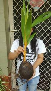Golden Malay Dwarf Coconut Tree Organic Sprouted Cleveland.