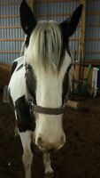 Looking for Part-Boarder for Horse **new price**
