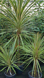 Cordyline tree/ tropical plants wanted