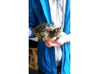 Male and female terrapins