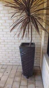 Beautiful large black Pot with plant and white stones! Baldivis Rockingham Area Preview