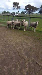 sheep for freezer $100 each Meredith Golden Plains Preview