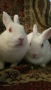 Netherland dwarf rabbit! - 1 yr old!
