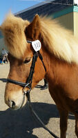 Registered Icelandic Horse for Sale