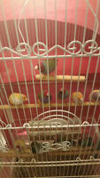 ADULT GOULDIAN FINCHES AND PARROTLET FOR SALE