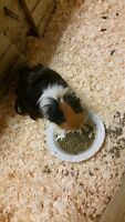 2 long hair Guinea pigs, their house, half a bag of food and bed