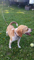 2 Year old Female Beagle