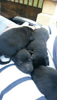 Lab/Rottweiller Puppies for Sale