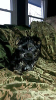 CKC Yorkshire Terriers Male and Females in Gimsby