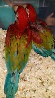 Hand raised super friendly GREEN WING MACAW BABIES (1 LEFT)
