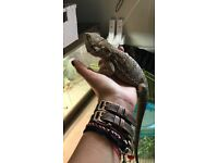 They have been sold!Pair of 6mths old bearded dragons