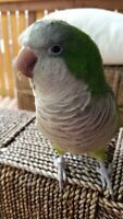Monk Parakeet/Quaker - Looking For a New Home