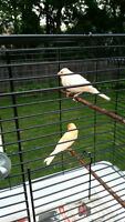 canary birds for sale (1 FEMALE AND 1 MALE