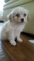 Cute Female Eskipoo for sale