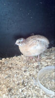 i have male quails