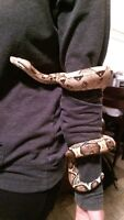 Red Tail Boa for sale
