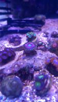 Saltwater Corals - Various Zoas and Palys $10 - $100