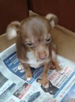 Very cute 4 months old  Brown Chihuahua looking for good home