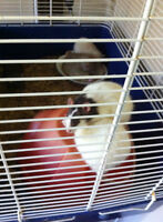 Rats to give away to a good home