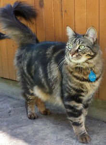 Long-haired male tabby cat still missing in Westboro
