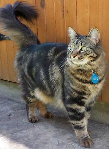 Lost Female Brown White Black Cat Ottawa South