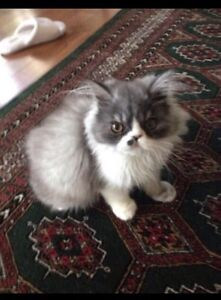 6 month old Persian kitten