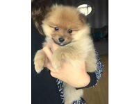 Pure Pom- 1 girl puppy left