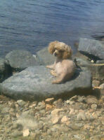 9 year old toy poodle looking for a good home