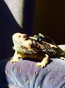 Looking for a male dragon for breeding