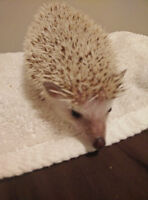 2 year old hedgehog with accessories