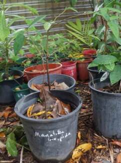 Free trees for cyclone victims