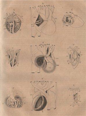 STRUCTURE OF THE HEART. Foetus. Crocodile. Snake. Lizard Salamander Fish 1834