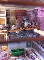FAWN FINCHES FOR SALE