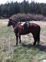 COW BRED REGISTERED AQHA FILLY