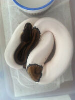 lots of cool ball python morphs!!