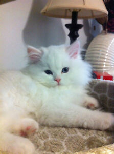 ~Non- Pointed ( All white) himalayan kittens arriving soon~