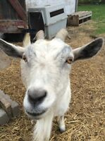 "Pet Goat ""Mabel""  Friendly Dwarf X, birds and tractor"
