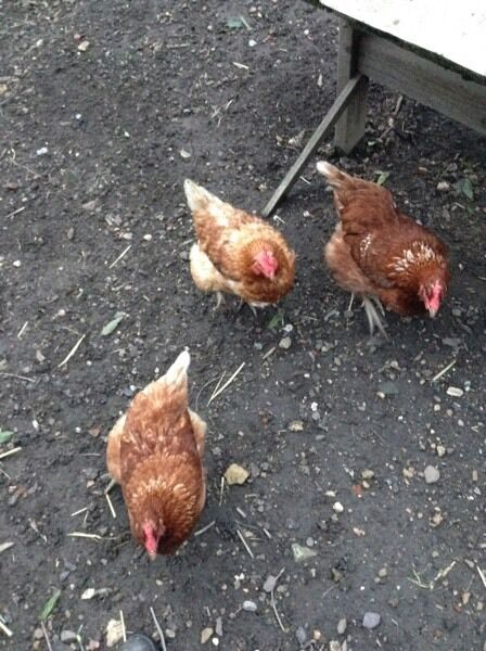 3 hens plus cage and enclosure. Sold