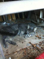 FREE Female Cat to Good Home, Declawed
