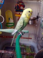 Budgie and Cage/Accessories For Sale