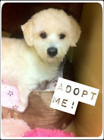 Lucky Male Bichon Mix for adoption